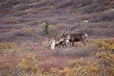 Beautiful Caribous in wilderness in Alaska
