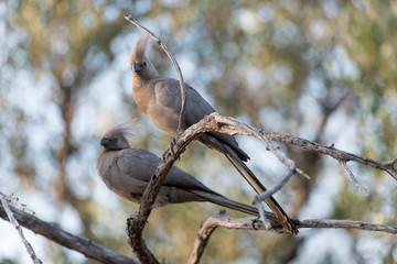 Touraco concolore,.Corythaixoides concolor, Grey Go away bird