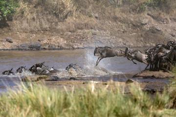 Wildebeest crossing Mara river, Masai Mara, Kenya