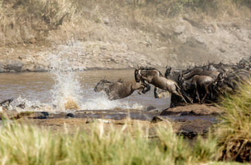 Wildebeest jumping in the Mara river, Masai Mara, Kenya