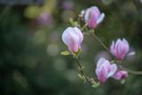 pink flowers of magnolia in the garden