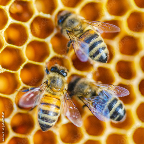 Hardworking honey bees on honeycomb in apiary in late summertime  - 261094040