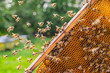 Leinwanddruck Bild - Hardworking honey bees on honeycomb in apiary in late summertime