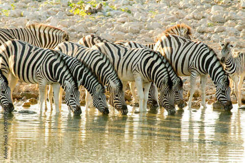 Zebra group drinking at a waterhole - 261095496