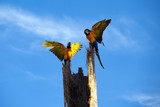 Couple Macaw open wings