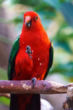 Male Australian King Parrot bird (Alisterus scapularis) eating his food.