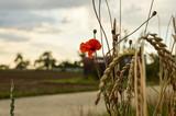 Poppy Flower wheat field