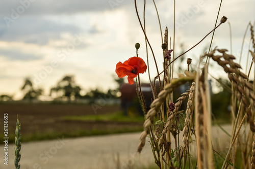 Poppy Flower wheat field - 261130653