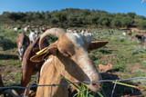 Cabras comiendo hierba