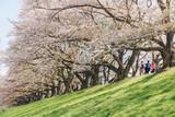 Kyoto, JAPAN - April 3, 2018: People enjoy seeing beautiful blooming cherry blossom at Yawatashi.