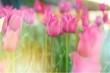 Tulip. - 261155472