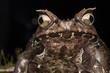 Macro image of a huge horned frog from Borneo - Megophrys kobayashii
