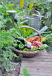 organic vegetables in a wicker basket in a vegetable garden