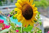 beautiful blooming sunflower yellow-bright color with a flying bumblebee near it