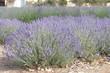 canvas print picture - lavendel wiese blüten