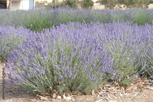 canvas print picture lavendel wiese blüten
