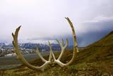 ALASKA . PARC NATIONAL DENALI ..Bois de Caribou