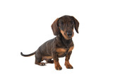 Smooth haired Dachshund looking at the camera sitting isolated on a white background