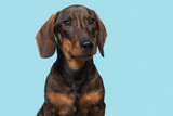 Portrait of a smooth haired Dachshund looking away on a blue background