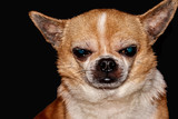 Profile of the dog on a black background. A dog of the Chihuahua breed. Smooth-haired, red. He looks to the left. You can see the head, ears, eyes, mustaches. The mouth is closed. In low key
