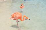 Pink Flamingo on the beach of Aruba Island - Caribbean