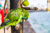 Portrait of a green parrot in a restaurant near beach