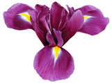 purple iris flower, white isolated background with clipping path.   Closeup.  no shadows.   For design.  Nature.