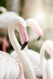 Pink Flamingo-close up, it has a beautiful coloring of feathers. Greater flamingo, Phoenicopterus roseus.