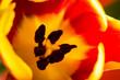 canvas print picture - Tulpe Makro Blütenkelch