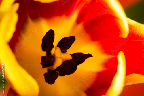 canvas print picture Tulpe Makro Blütenkelch