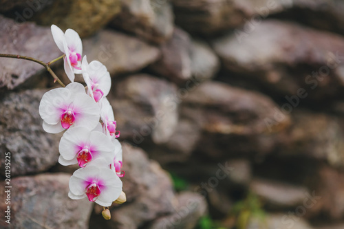 Blooming white orchid flowers on blurred background