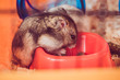 selective focus of cute hamster eating from orange plastic bowl