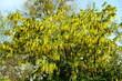 canvas print picture - Goldregen mit Blüten