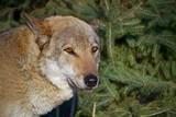 Wolf near spruce