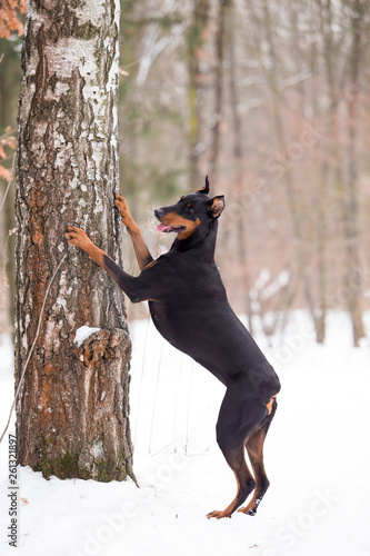 Dog breed Doberman plays in the winter forest