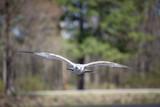 Seagull flying