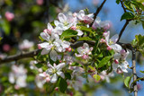 Close up of light pink white apple tree flowers in full bloom in a garden in a sunny spring day, floral background