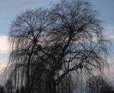 Drzewa nad Odrą Wrocław Polska
