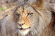 Katanga Lion Panthera Leo Bleyenberghi Head Closeup