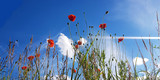 beautiful spring red poppy in bloom with blue sky, sunlight and clouds, seasonal concept