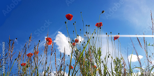 beautiful spring red poppy in bloom with blue sky, sunlight and clouds, seasonal concept - 261403663