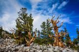 Bristlecone Pine Grove Trail - Great Basin National Park - Baker, Nevada