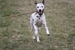 Dalmatian running - 261450261