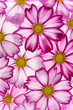 cosmos flower backgrounds - 261453609