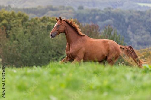 Wallach auf der Weide © Ines