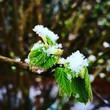 canvas print picture - Haselnuss Blätter mit Schnee