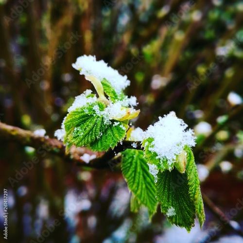 canvas print picture Haselnuss Blätter mit Schnee
