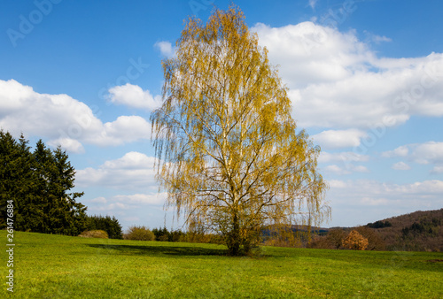 canvas print picture Blosoming Birch Tree with Clouds and blue sky in the background and green grass in the foreground