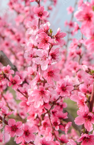 Blossoming peach tree branches, the background blurred. Spring concept - 261519420