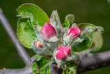 Knospen am Apfelbaum im Garten
